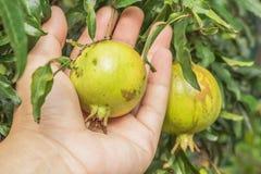 Romã no ramo de árvore com terra arrendada da mão Imagens de Stock
