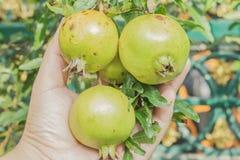 Romã no ramo de árvore com terra arrendada da mão Fotografia de Stock