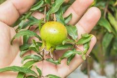 Romã no ramo de árvore com terra arrendada da mão Foto de Stock Royalty Free
