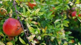 Romã orgânicas maduras que penduram em um ramo no pomar Fruta da romã video estoque