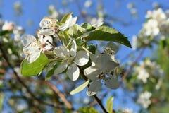Rom-Äpfel in voller Blüte Stockfotografie