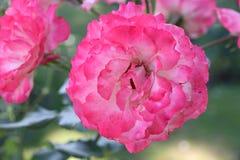 Rom Rose Garden Lizenzfreies Stockbild