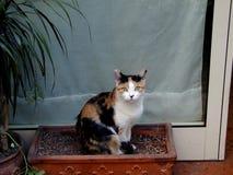 Romański Uliczny kot obraz royalty free