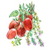 Roma pomidor z macierzanką Akwareli ręka rysująca ilustracja pojedynczy białe tło Zdjęcie Stock