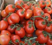 Roma tomat, italiensk plommontomat, Solanumlycopersicum Arkivbilder