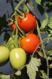 Roma Tomato Imagenes de archivo