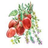 Roma Tomato med timjan Dragen illustration för vattenfärg hand bakgrund isolerad white Arkivfoto