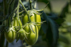 Roma Tomatoes verde novo na planta Foto de Stock