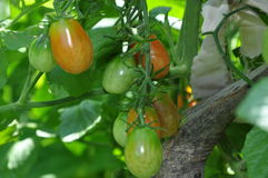 Roma Tomatoes vert Photos stock