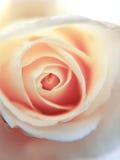 Romaanse roze nam toe Royalty-vrije Stock Fotografie