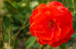 Romaantic single colored garden rose Stock Photography