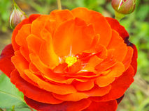 Romaantic single colored garden rose Stock Image