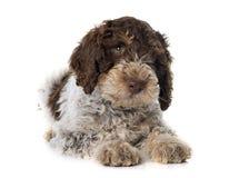 Romagna-Wasser-Hund stockbilder