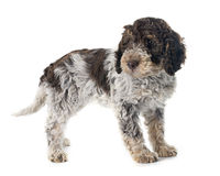 Romagna Water Dog Royalty Free Stock Photography