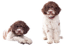 Romagnolo de Lagotto Photos stock