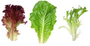 romaine красного цвета салата листьев эндивия Стоковые Изображения RF