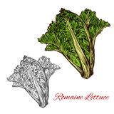 Romaine or cos lettuce sketch with green leaf. Romaine or cos lettuce sketch of leaf salad vegetable. Fresh bunch of lettuce plant with dark green leaf, light vector illustration