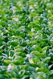 Romaine Lettuce photo libre de droits