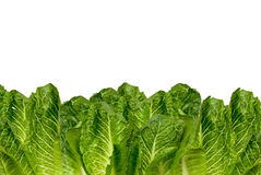 Romaine lettuce. Border isolated over white Royalty Free Stock Photos