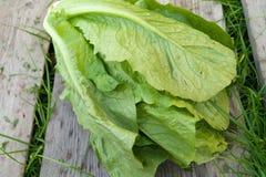 Romaine Lettuce Lizenzfreies Stockbild