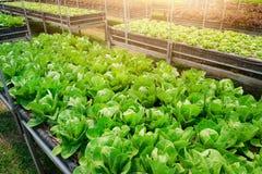 Romaine Lettuce Image stock