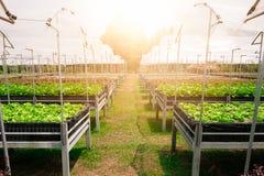 Romaine Lettuce Images libres de droits