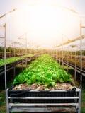 Romaine Lettuce Photos stock