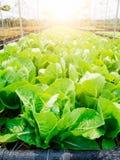 Romaine Lettuce Image libre de droits