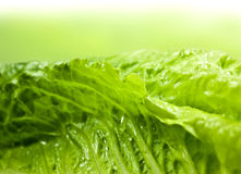 Romaine lettuce Royalty Free Stock Image