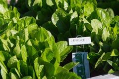 Romaine Lettuce Bed em um jardim da comunidade Foto de Stock