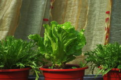 Romaine Lettuce and Chrysanthemum coronarium. Potting Chrysanthemum coronarium and Romaine Lettuce Stock Images