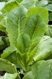 Romaine lettuce closeup Royalty Free Stock Photography