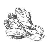 Romaine Lettuce Colorless Graphic Illustration vektor illustrationer