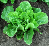 Romaine Lettuce in the Ground. Romaine lettuce is one of the tastiest,and most popular of loose leaf lettuce varieties Royalty Free Stock Photo