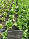 Romaine lettuce growing. Outdoor natural setting of romaine and other varieties of lettuce field, with a sign describing the plants stock image