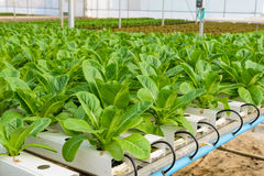 Romaine lettuce Hydroponic plantation Stock Photos
