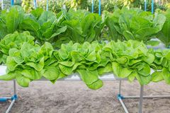 Romaine Lettuce, Hydroponics system. Fresh Romaine Lettuce vegetable in a Hydroponic farm Stock Photography