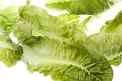 Romaine Lettuce Isolated Royalty Free Stock Photography