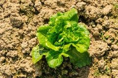 Romaine Lettuce nella terra Fotografia Stock