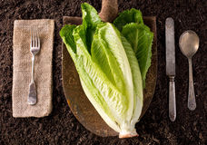 Romaine Lettuce. Organic farm to table healthy eating concept on soil background Stock Image