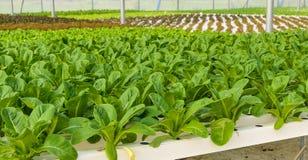 Romaine lettuce plant. Romaine lettuce Hydroponic vegetables plantation Royalty Free Stock Images