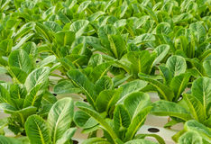 Romaine lettuce plantation Royalty Free Stock Photo