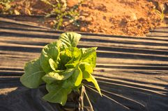 A romaine lettuce planted in the orchard bathed in the afternoon sun Royalty Free Stock Photos