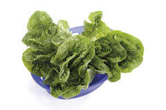 Romaine lettuce in plastic bowl Stock Photography