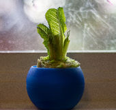 Romaine lettuce in pot Royalty Free Stock Photos