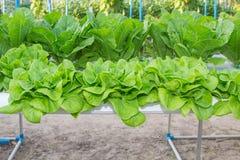 Romaine Lettuce, système de culture hydroponique. Photographie stock