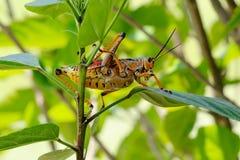 A Romalea guttata grasshopper Stock Images
