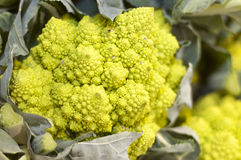 Roman broccoli Royalty Free Stock Image