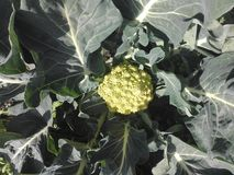Roman Broccoli. healthy italian vegetable food Royalty Free Stock Images