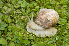 Roman, Burgundian or Edible Snail (Helix pomatia) Stock Images